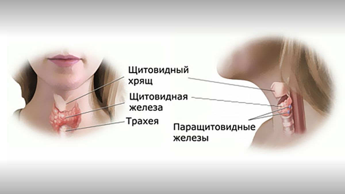Строение и функция паращитовидных желез